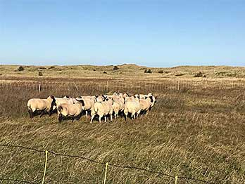 Sheep on the Dunes