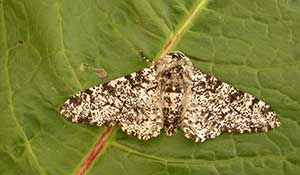 Peppered-Moth-on-leaf