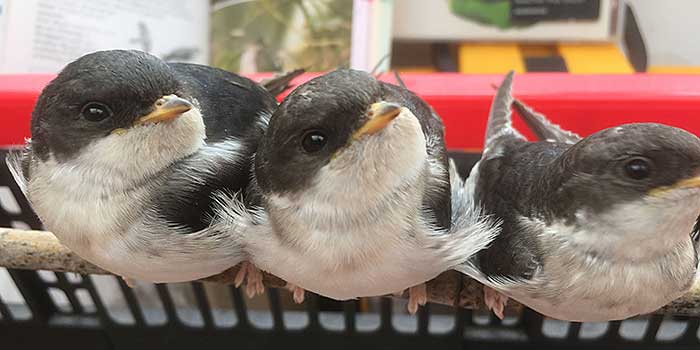 House Martin chicks