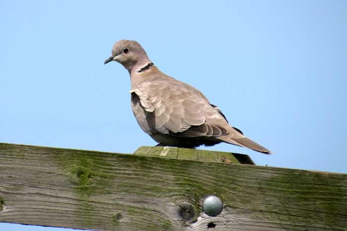 Collared-Dove