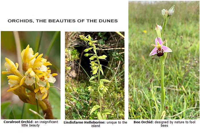 Lindisfarne Orchids