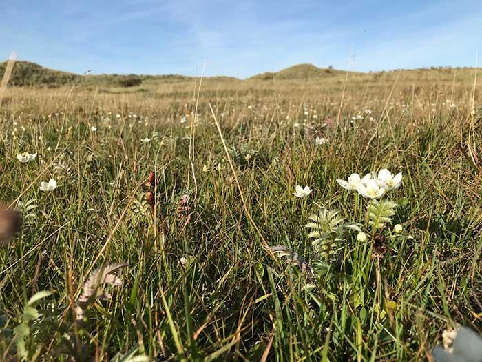 Lindisfarne - Grass-of-Parnassus